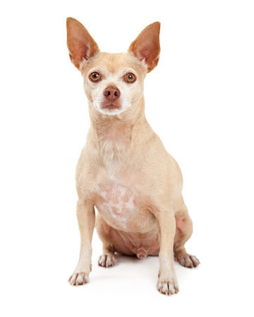 whitespace: A cute little Chihuahua dog sitting with an attentive expression