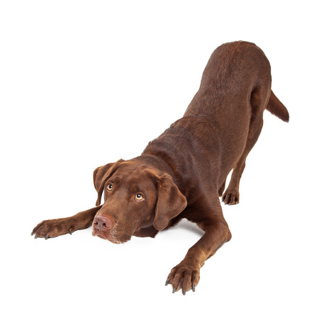 large family portrait: Chocolate Labrador Retreiver dog in downdog looking cute and sad