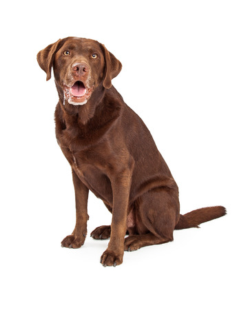 slobber: Chocolate labrador retriever dog sitting with slobber and drool dripping from his mouth