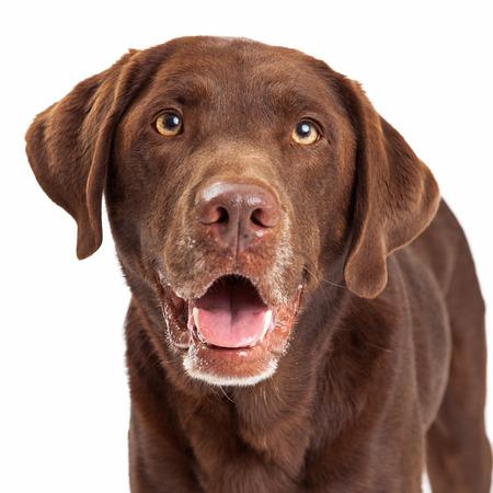 chocolate labrador retriever: Closeup Chocolate Labrador Retriever dog head shot with happy expression and mouth open Stock Photo