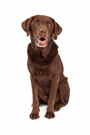 retreiver: Chocolate labrador retreiver dog sitting looking forward with mouth open Stock Photo