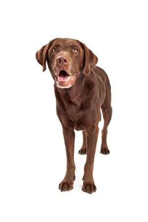 chocolate labrador retriever: A chocolate labrador retriever dog standing and looking forward and up to the sky Stock Photo