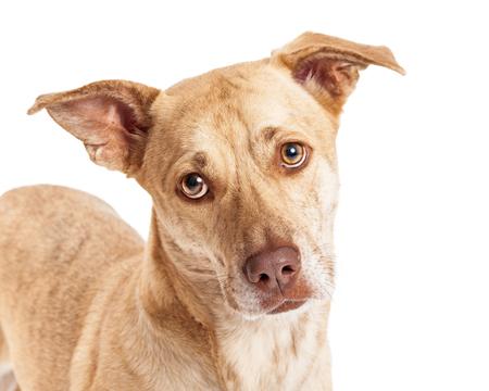 lapdog: A cute Welsh Corgi and Chihuahua mixed small breed dog closeup portrait Stock Photo