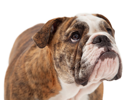 stocky: A closeup of a cute young Bulldog looking up and to the side. Stock Photo