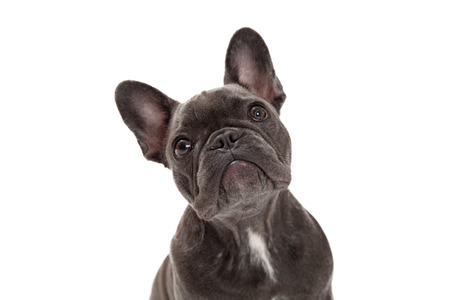 A cute little blue color  French Bulldog