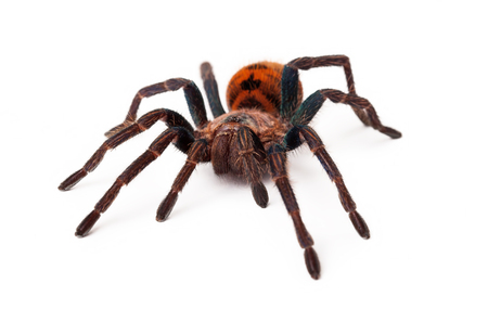 A large Greenbottle Blue Tarantula spider with an orange color body isolated on a white background