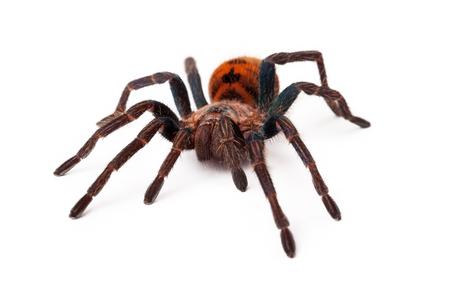 Een groot Greenbottle Blue Tarantula spin met een oranje kleur lichaam geïsoleerd op een witte achtergrond