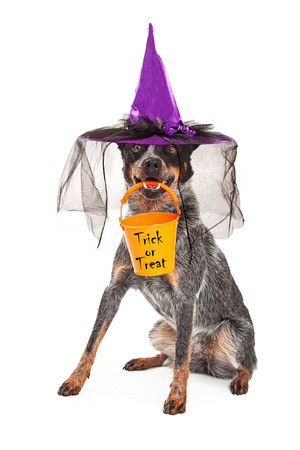 red heeler: A cute Australian Cattle dog sitting while wearing a witch hat as a Halloween costume and holding a an orange trick-or-treat bucket n his mouth