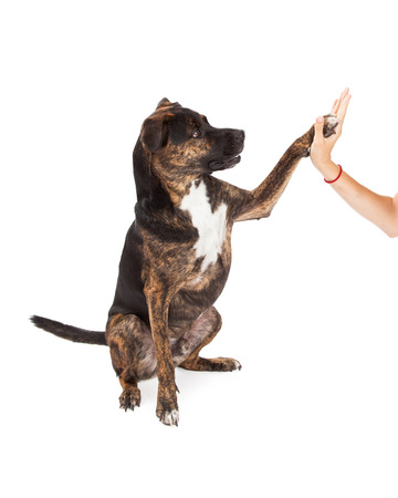 A cute large brindle coated dog sitting to the side and raising her paw to high five with a persons hand photo