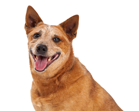 red heeler: A closeup of a friendly Australian Cattle Dog which is also known as a Red Heeler