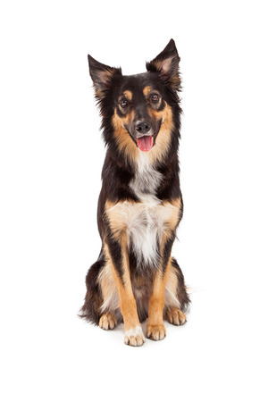 A cute young black and tan color Border Collie and Shepherd mixed breed dog sitting and looking forward with a happy expression
