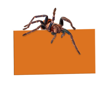 extermination: A creepy tarantula spider crawling over a blank orange color sign. Enter your Halloween or other marketing text in the blank copy space.