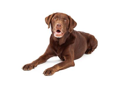 chocolate labrador retriever: A chocolate Labrador Retriever dog laying with a happy expression and mouth open Stock Photo