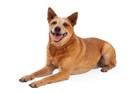 red heeler: A friendly Australian Cattle Dog which is also known as a Red Heeler laying with a happy expression and open mouth