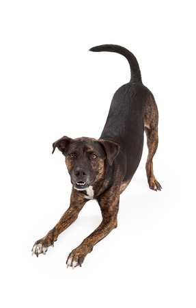 A happy and friendly dog stretching out into a bowing or downdog position