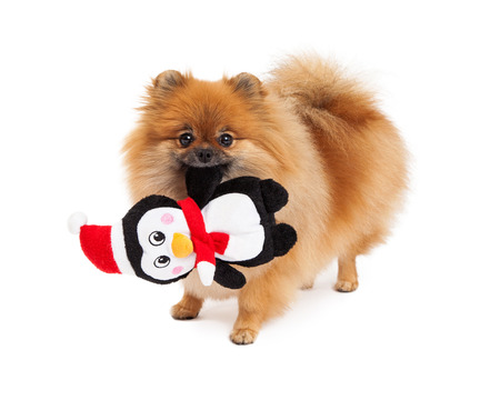 lapdog: A cute little sable color Pomeranian dog holding a Christmas theme stuffed Penguin toy in her mouth