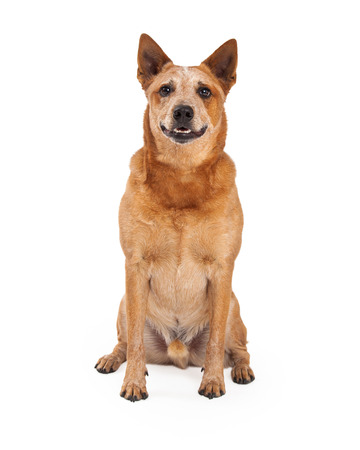 red heeler: A friendly Australian Cattle Dog which is also known as a Red Heeler sitting and looking straight forward Stock Photo