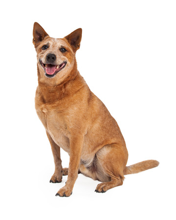 A friendly Australian Cattle Dog which is also known as a Red Heeler sitting to the side with a happy expression and open mouth