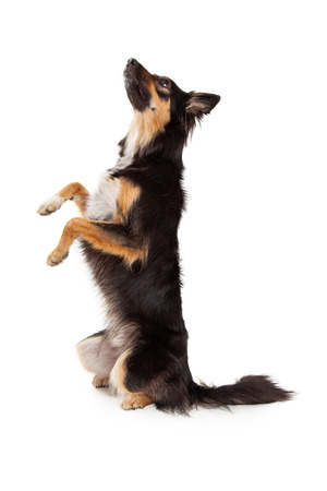 A cute young black and tan color Border Collie and Shepherd mixed breed dog sitting up on her hind legs and begging while looking up and off to the side