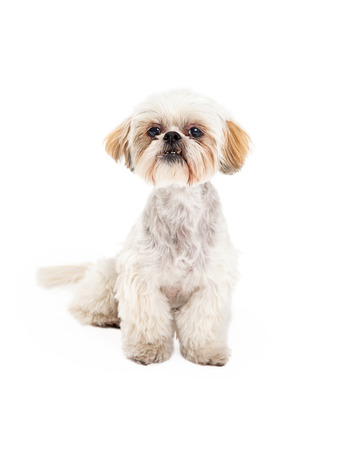 poodle mix: Adorable Poodle and Maltese Mix Breed Dog sitting while looking forward.