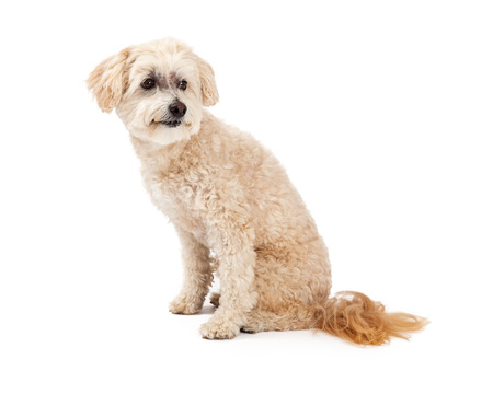 poodle mix: An alert Maltese and Poodle Mix Dog sitting at an angle and looking sideways. Stock Photo