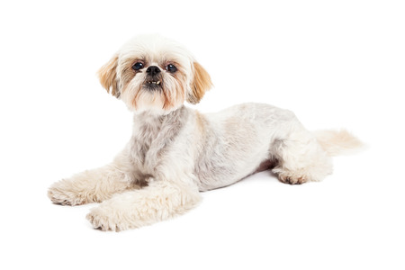 poodle mix: An alert and attentive Maltese and Poodle Mix Dog Laying while looking into the camera. Stock Photo