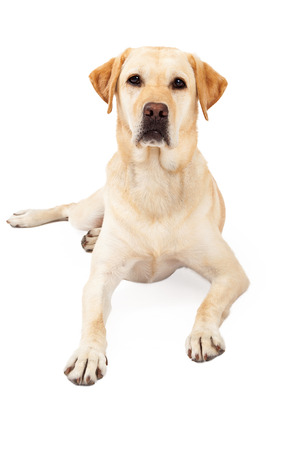 laying forward: Cute yellow Labrador Retriever dog laying down while looking straight forward with an attentive expression