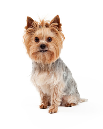lapdog: A very attentive Yorkshire Terrier dog sitting and looking directly into the camera