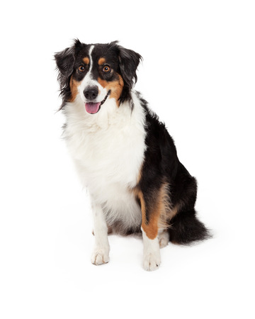 A very well trained Australian Shepherd Dog sitting while looking forward. Stock Photo - 33124471