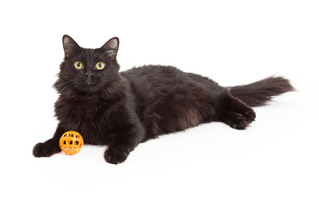 laying forward: A beautiful long haired black cat laying while looking forward with orange toy between front paws Stock Photo