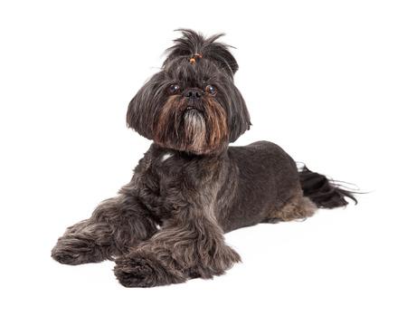 lapdog: A curious Mixed Breed Small Dog laying at an angle while looking forward. Stock Photo