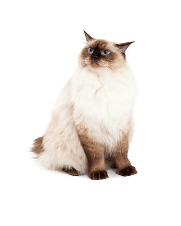 ragdoll: A curious Ragdoll cat sitting and looking off to the side