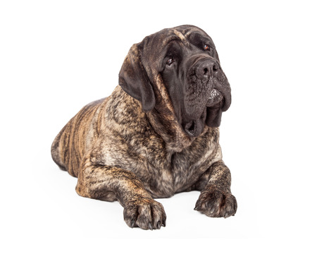 head tilted forward: A beautiful big English Mastiff dog with a brindle coat laying down and looking forward with a tilted head