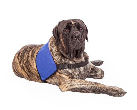 A beautiful big English Mastiff with a brindle coat wearing a blank blue vest to show that he is a service or a therapy dog.