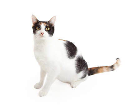 calico cat: A gorgeous domestic short hair calico cat sitting at an angle while looking directly into the camera.