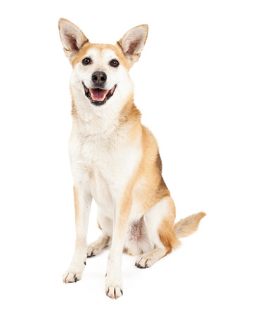short hair dog: A very happy Australian Cattle and Shiba Inu mix dog sits looking forward with its mouth open.