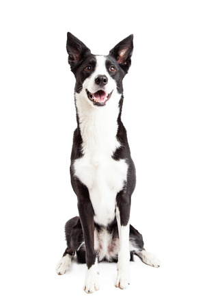 A very happy and attentive Border Collie Mix Breed Dog sitting while looking upwards.