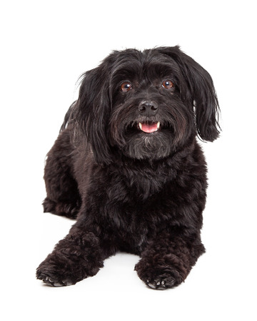 laying forward: A happy Havanese Dog is laying looking forward with open mouth. Stock Photo