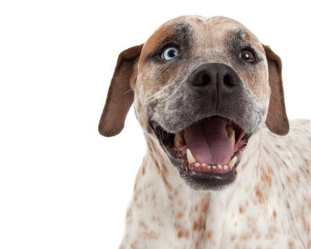 short hair dog: A closeup of a cute Cattle Dog, Boxer and Pointer mixed breed dog with a happy expression Stock Photo