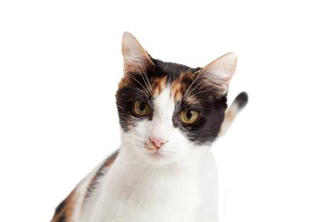 calico cat: Headshot of beautiful Calico Cat looking forward.