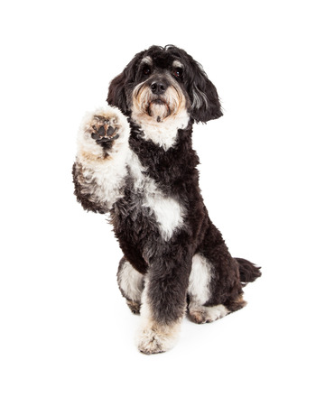 poodle mix: Adorable Poodle Mix Breed Dog extending paw for a shake.  Dog is looking directly into the camera. Stock Photo
