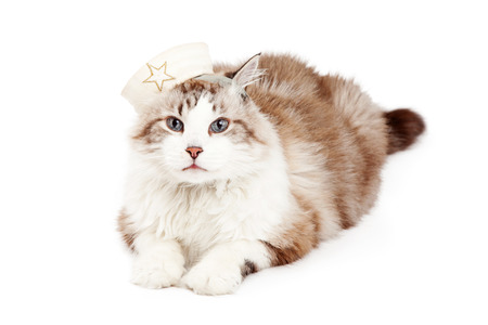 ragdoll: An adorable Ragdoll Cat wearing a sailors cap while looking directly into the camera. Stock Photo