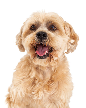 poodle mix: A headshot of a very attentive Maltese and Poodle Mix Dog.