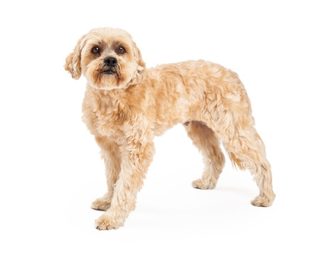 An alert and attentive Maltese and Poodle Mix Dog standing at an angle while looking into the camera.