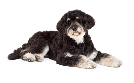 poodle mix: An attentive Poodle Mix Breed Dog laying at an angle while looking into the camera.
