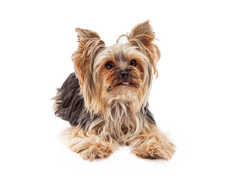 laying forward: A very attentive and focused Yorkshire Terrier dog laying and looking forward.