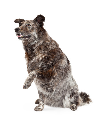 extends: A happy Australian Shepherd Mix Breed Dog extends its paw for a shake.