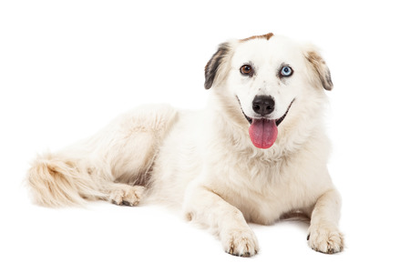 laying forward: A happy Australian Shepherd Mix Breed Dog laying while looking forward.  Mouth is open.