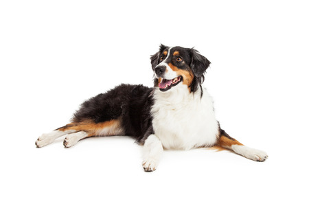 A beautiful Australian Shepherd Dog laying with outstretched paws while looking off to the side.