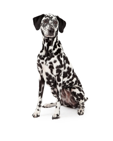 medium length: A beautiful Dalmatian Dog sitting while looking off to the side.